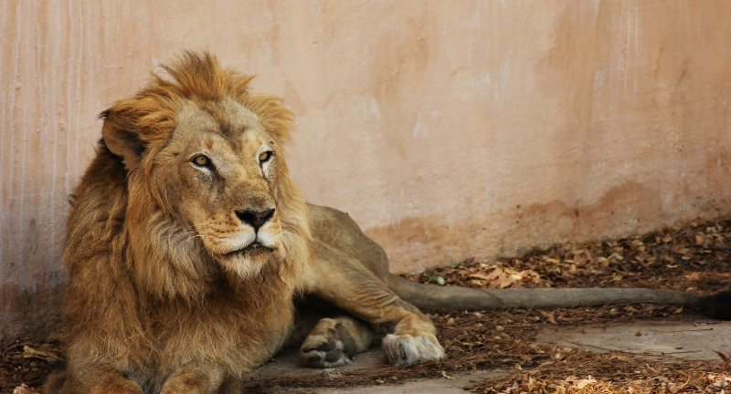 Lion has died at the Lahore Zoo.