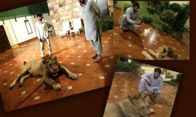 Shahid Afridi's Wild Animals Seized by DHA